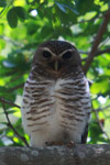White-browed Owl (Ninox superciliaris) [madagascar_2726]