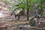 Ring-tailed lemur scent-marking