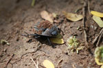 Dung beetle in Madagascar [madagascar_2855]