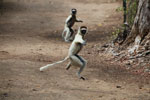 Verreaux's Sifaka (Propithecus verreauxi) in a fight over territory [madagascar_2903]