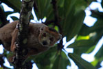 Male Crowned lemur (Eulemur coronatus) [madagascar_3360]