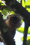 Sanford's Brown Lemur (Eulemur sanfordi) [madagascar_3371]
