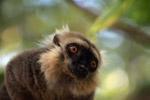 Sanford's Brown Lemur (Eulemur sanfordi) [madagascar_3379]