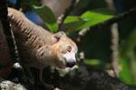 Crowned lemur (Eulemur coronatus) [madagascar_3387]