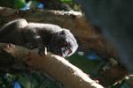 Collared Brown Lemur (Eulemur collaris) outside it range, its orgin a mystery