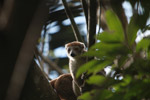 Female Crowned lemur (Eulemur coronatus) [madagascar_3402]
