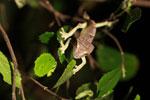 Spearpoint Leaf-tail Gecko (Uroplatus ebenaui) [madagascar_3445]