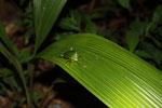 Leaf-mimicking treehopper [madagascar_3519]