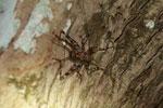Mottled cricket