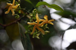 Yellow flower (Apocynaceae family)