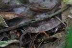 Dark brown grasshopper