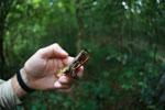 Brookesia antakarana [madagascar_3631]