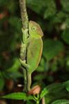 Amber Mountain chameleon (Calumma ambreense) [female]