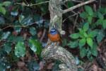 Amber Mountain Rock-thrush (Monticola erythronotus) [male] [madagascar_3692]