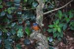 Amber Mountain Rock-thrush (Monticola erythronotus) [male] [madagascar_3698]