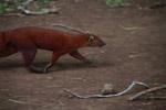 Ring-tailed mongoose (Galidia elegans) [madagascar_3711]