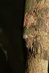 Mossy Leaftail Gecko (Uroplatus sikorae) [madagascar_3736]