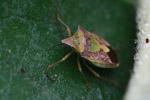Shield bug [madagascar_3752]