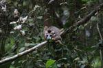 Crowned lemur feeding [madagascar_3774]
