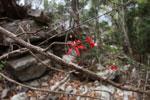 Red flowers (Passifloraceae?) [madagascar_3950]