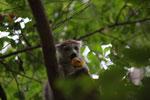 Female Crowned lemur (Eulemur coronatus) feeding