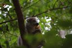 Female Crowned lemur (Eulemur coronatus) feeding [madagascar_4042]