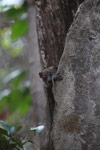 Northern Lepilemur (Lepilemur septentrionalis) peeking out from a tree hollow