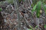 Ringtailed mongoose [madagascar_4257]