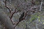 Greater Vasa Parrot (Coracopsis vasa) [madagascar_4315]