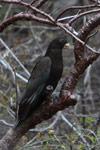 Greater Vasa Parrot (Coracopsis vasa) [madagascar_4320]