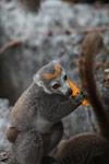 Female crowned lemur feeding on a mango rind [madagascar_4349]