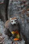 Female crowned lemur feeding on a mango rind while perched on sharp limestone tsingy [madagascar_4352]