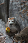 Female crowned lemur feeding on a mango rind while perched upon limestone tsingy [madagascar_4364]