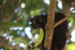 Male black lemur (Eulemur macaco)