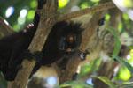 Male black lemur (Eulemur macaco) [madagascar_4586]