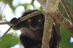 Male black lemur (Eulemur macaco) [madagascar_4595]