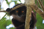 Male black lemur (Eulemur macaco) [madagascar_4600]