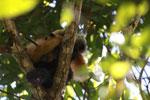 Pair of black lemurs (Eulemur macaco)