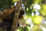 Pair of black lemurs (Eulemur macaco) [madagascar_4615]