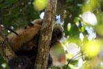 Pair of black lemurs (Eulemur macaco) [madagascar_4619]