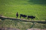 Rice field and zebu cattle [madagascar_4773]
