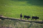 Rice field and zebu cattle [madagascar_4775]
