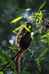 Golden Bamboo Lemur (Hapalemur aureus) eating bamboo [madagascar_4850]