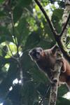 Red-fronted brown lemur in Ranomafana