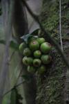 Fruit [madagascar_4912]