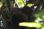 Female Red-bellied Lemur (Eulemur rubriventer) [madagascar_4964]