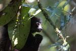 Milne-Edwards' Sifaka (Propithecus edwardsi) [madagascar_4992]