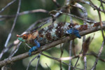 Blue, green, orange, white, and brown Calumma crypticum chameleon [male] [madagascar_5043]