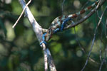 Stunning male Calumma crypticum chameleon [madagascar_5049]