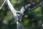 Stunning male Calumma crypticum chameleon [madagascar_5051]